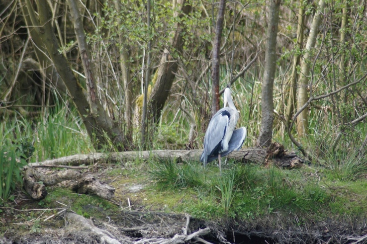 Heron at Horning
