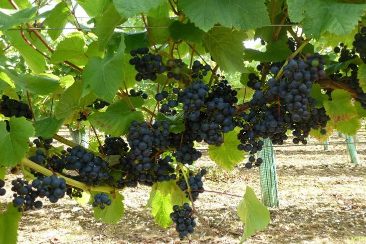 Humbleyard Grapes