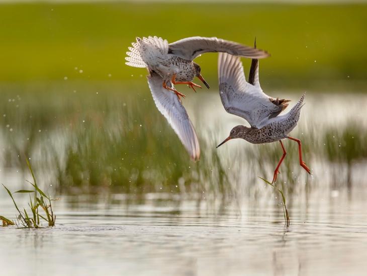 Two Waders Fighting in Norfolk