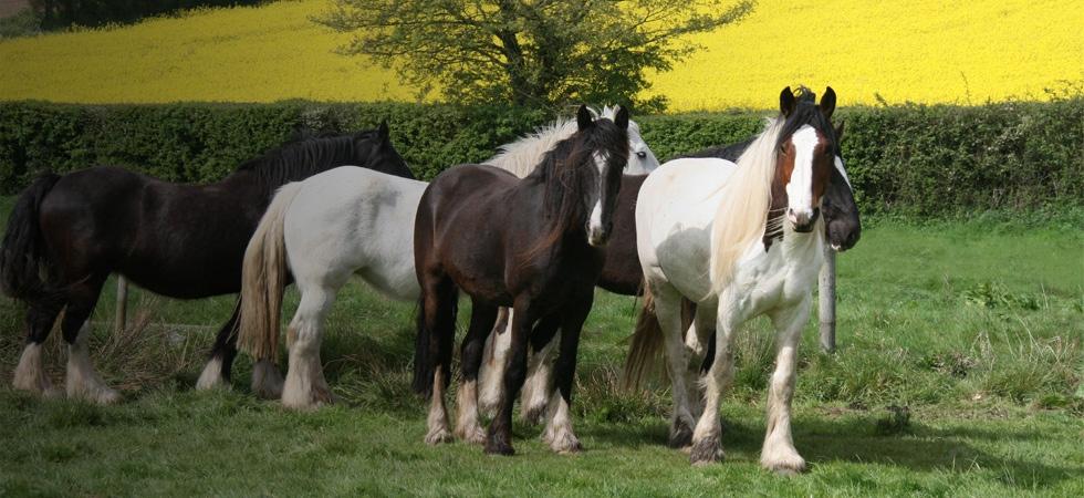 Shire Horses at Hillside Animal Sanctuary