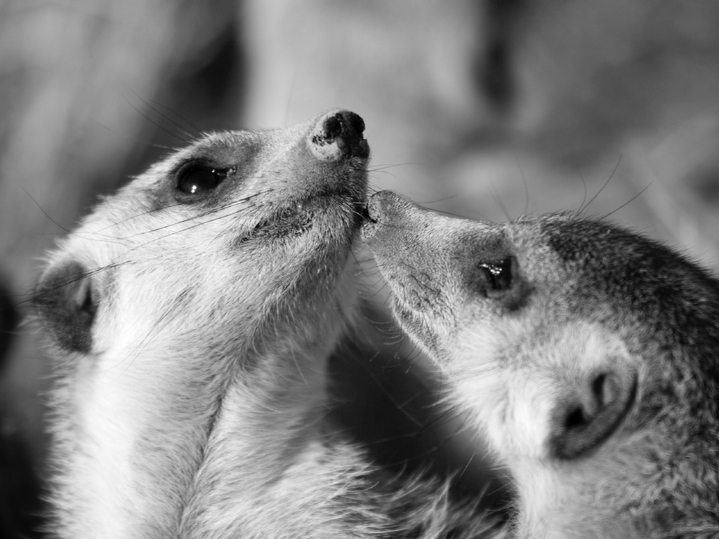 Meerkats can be seen at Pettitts in Norfolk