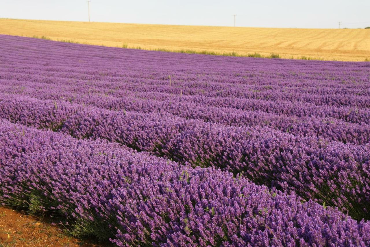 Norfolk Lavender fields