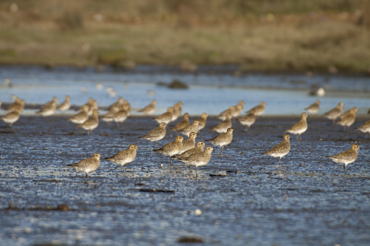 Golden Plover in the North Norfolk Marshes