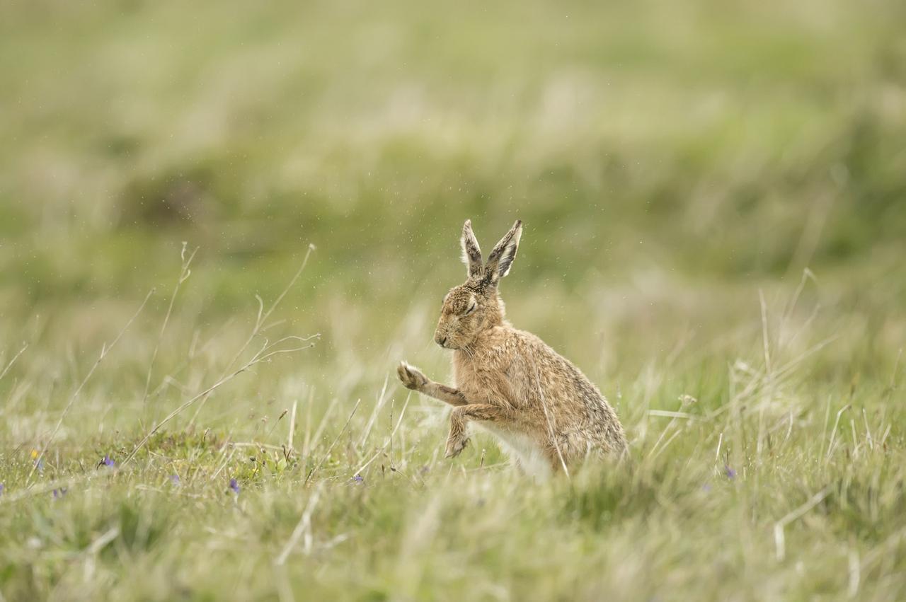 Hare in a meadow in Norfolk