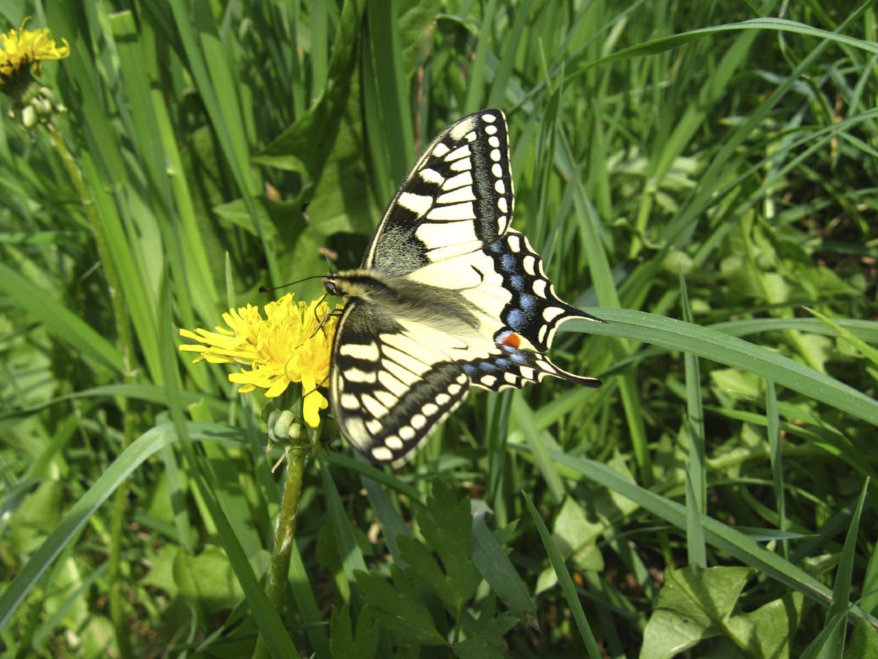 Swallowtail Butterfly in Norfolk
