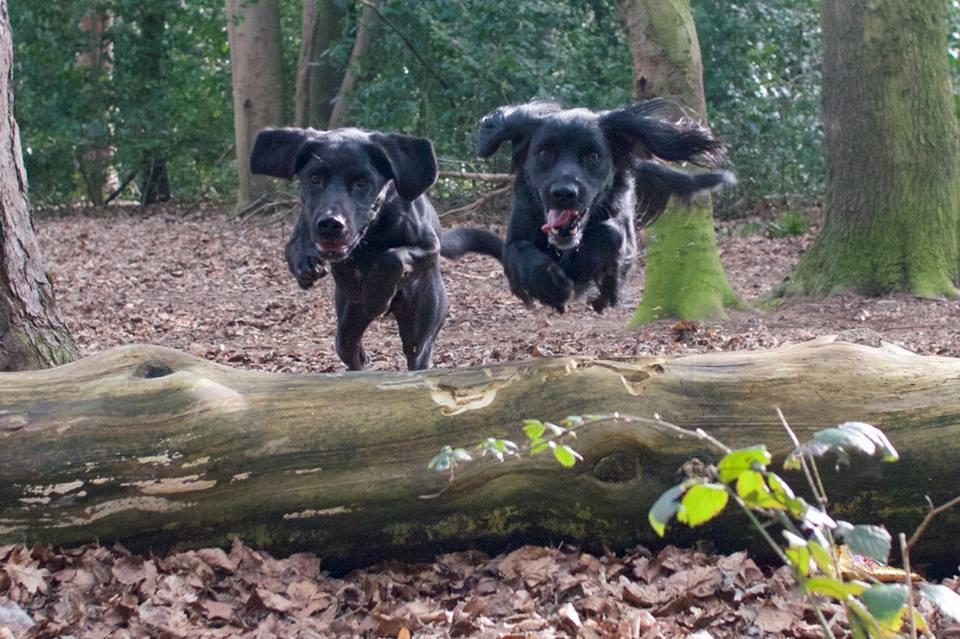 Gundogs training in the Norfolk woods